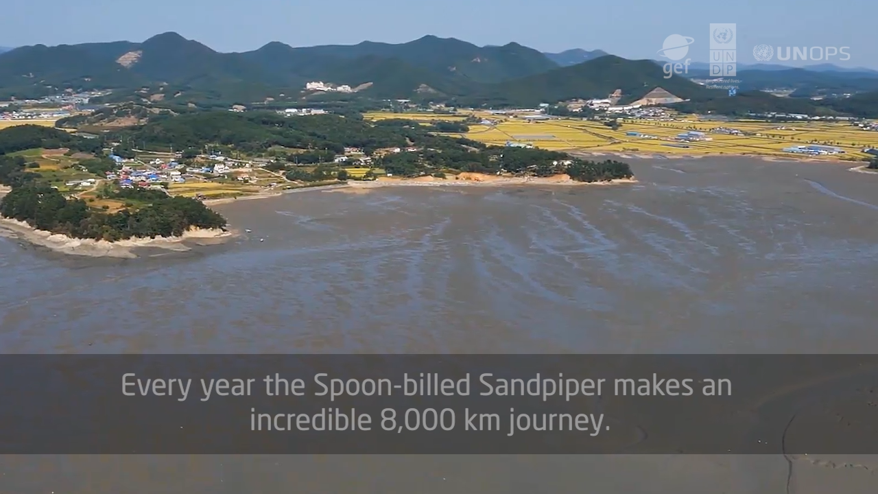 YSLME Spoon-billed sandpiper info vid ENGLISH VERSION (FINAL)